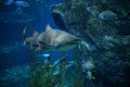 Shark ragged tooth sand tiger swimming on underwater aquarium Royalty Free Stock Photography