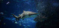 Shark ragged tooth sand tiger swimming on underwater aquarium Stock Photo