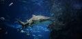 Shark ragged tooth sand tiger swimming on underwater aquarium Stock Photo