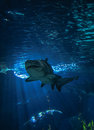 Shark ragged tooth sand tiger swimming on underwater aquarium Royalty Free Stock Photos