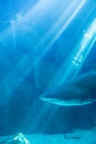Shark swimming alone in a tank at the aquarium Royalty Free Stock Images