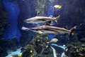 Sharks in aquarium Royalty Free Stock Photo