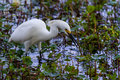 A sharp closeup of a beautiful wild snowy egret bird egretta thula also known as small white heron hunting for food in brazos bend Royalty Free Stock Photo