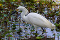 A sharp closeup of a beautiful wild snowy egret bird egretta thula also known as small white heron hunting for food in brazos bend Stock Photo