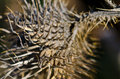 Sharp dried thistle spines in the sunlight autumn Stock Photos