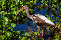 A sharp profile of a junvenile american white ibis water bird in texas very good photo long legged hunting for fish the swampy Royalty Free Stock Image