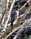 Sharp-shinned Hawk Stock Photography
