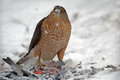 Sharp shinned hawk a eating it s prey Stock Images