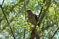 Sharp shinned hawk in leafy green tree Royalty Free Stock Image