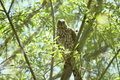 Sharp shinned hawk in leafy green tree Stock Photo