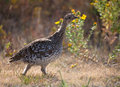 Sharp tailed grouse Royalty Free Stock Photography