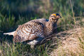 Sharp-Tailed Grouse Lek Royalty Free Stock Photo
