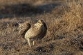 Sharp-Tailed Grouse, Tympanuchus phasianellus, on lek Royalty Free Stock Photo