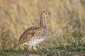 Sharp tailed grouse Royalty Free Stock Photo