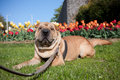Sharpei dog Royalty Free Stock Photography
