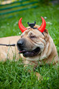 Sharpei dog as devil wearing horn Royalty Free Stock Photos