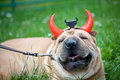 Sharpei dog as devil wearing horn Stock Images