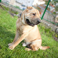 Sharpei dog in a park Royalty Free Stock Image
