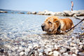 Sharpei dog relaxing in sea Stock Photography