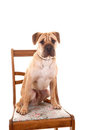 Sharpei dog sitting. Royalty Free Stock Images