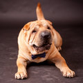 Sharpei dog in studio elegant Stock Image
