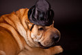 Sharpei dog waring stovepipe elegant in studio Royalty Free Stock Photos