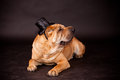 Sharpei dog waring stovepipe elegant in studio Stock Images