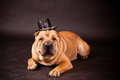 Sharpei dog waring stovepipe elegant in studio Royalty Free Stock Image
