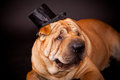Sharpei dog waring stovepipe elegant in studio Royalty Free Stock Images