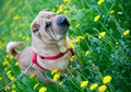 Sharpei dog with yellow flowers Royalty Free Stock Image