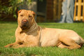 Sharpei in the grass Royalty Free Stock Images