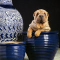 Sharpei in a jar dog blue chinese looking very comfortable with some other around studio shot against black background Stock Image