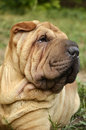 Sharpei portrait about a meat mouth male Royalty Free Stock Images