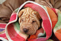 Sharpei puppy Royalty Free Stock Photos