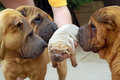 Sharpei puppy and adults Royalty Free Stock Photo