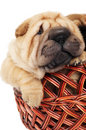 Sharpei puppy in basket Royalty Free Stock Image