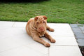 Sharpei puppy dog Stock Photography