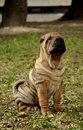 Sharpei puppy dog sitting Stock Photography
