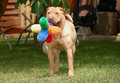 Sharpei with toy Royalty Free Stock Photos