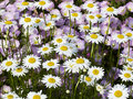 Shasta Daisies with musk Mallow Behind