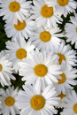 Shasta daisy flowers in bloom Royalty Free Stock Photo