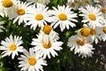 Shasta daisy flowers Royalty Free Stock Photo