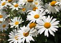 Shasta daisy flowers Royalty Free Stock Photo