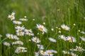 Shasta Daisy flowers. Royalty Free Stock Photo