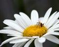 Shasta daisy Royalty Free Stock Photo