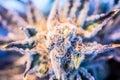 Cannabis Flower Indoor Marijuana Royalty Free Stock Photo