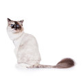 Shaved Ragdoll Cat  Stock Photography