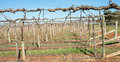 Shaw swing arm trellis on grape vines a detailed view of canes wrapped around Royalty Free Stock Images