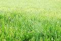 Sheared lawn juicy spring horizontal background Royalty Free Stock Photos