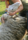 Shearing a sheep Royalty Free Stock Image